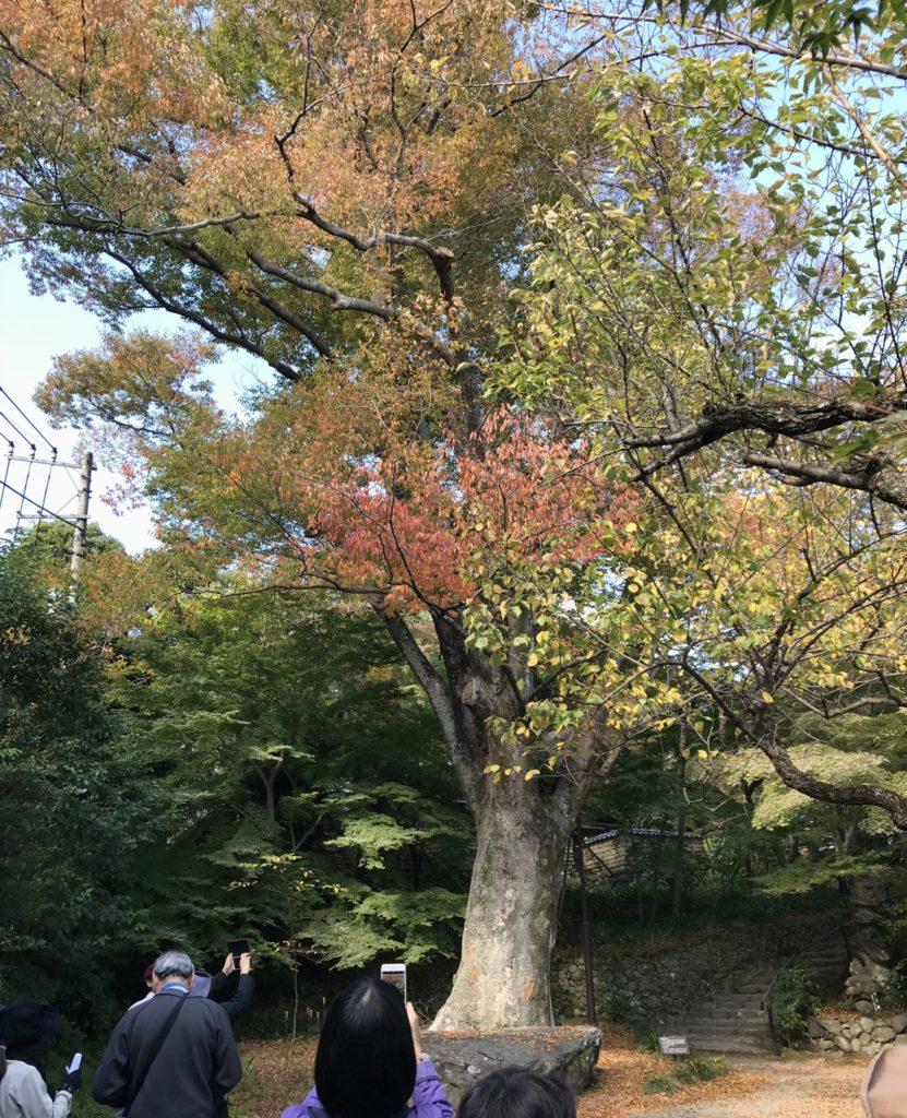 老欅荘ケヤキ