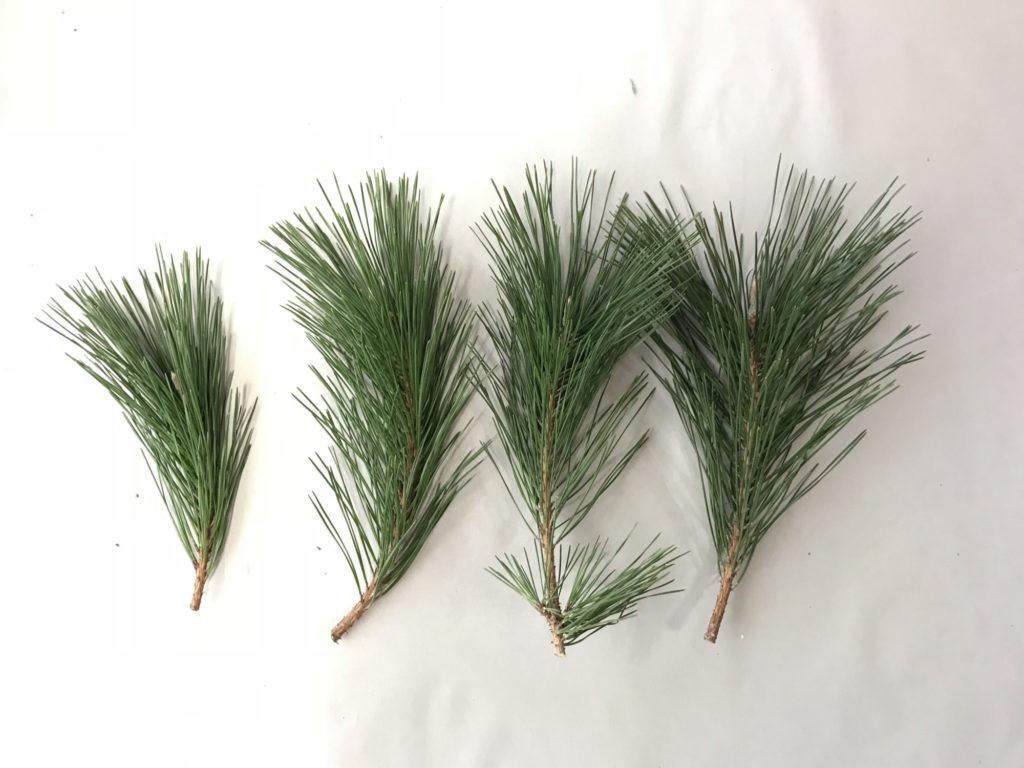 小さい松の枝