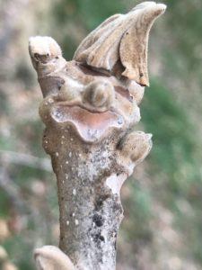 オニグルミ 冬芽