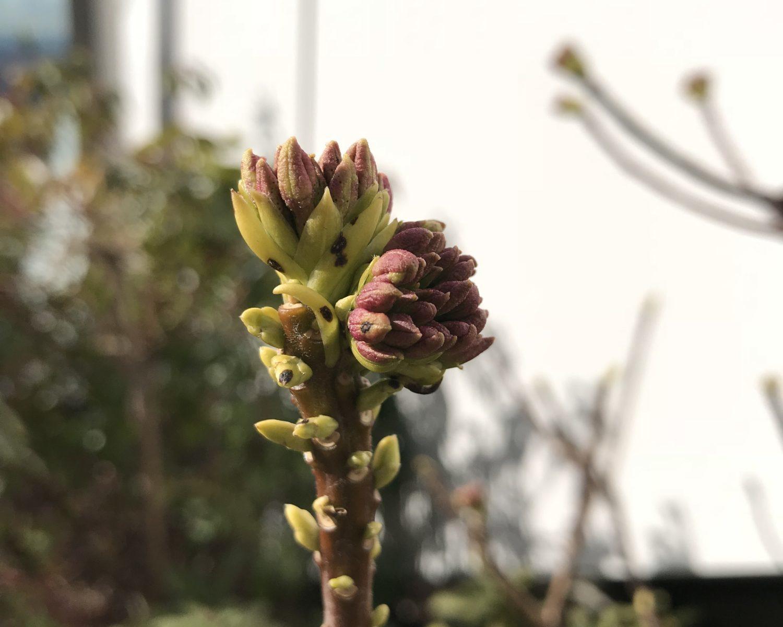 ジンチョウゲ赤花芽