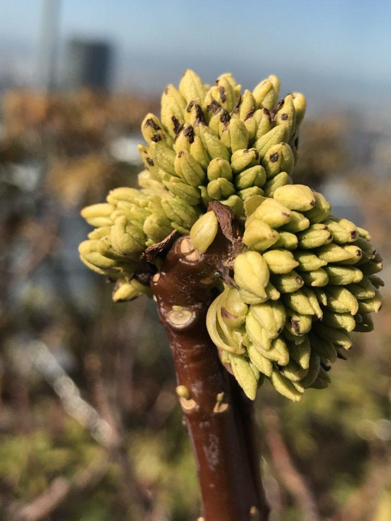 ジンチョウゲ 花芽