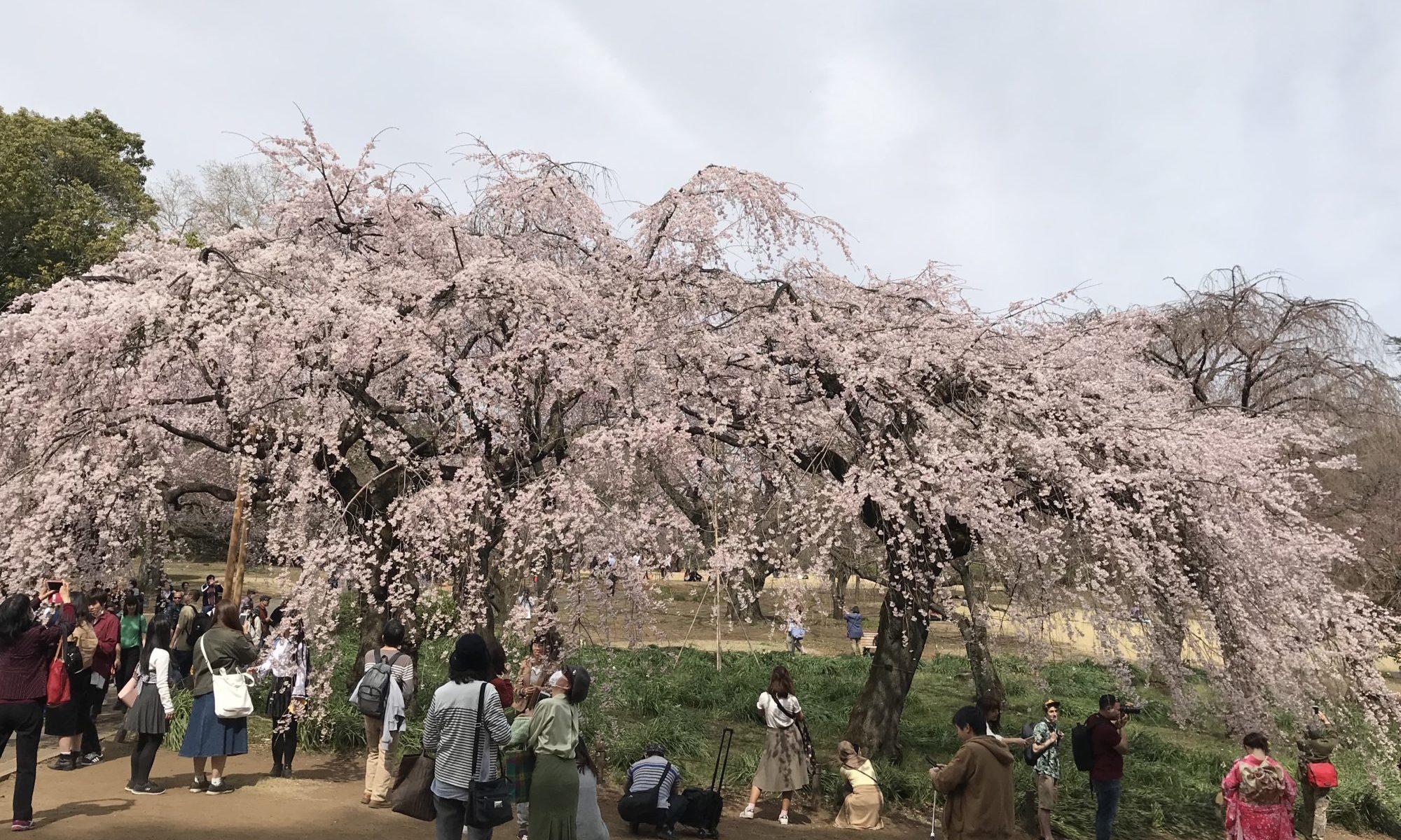 新宿御苑 枝垂れ桜