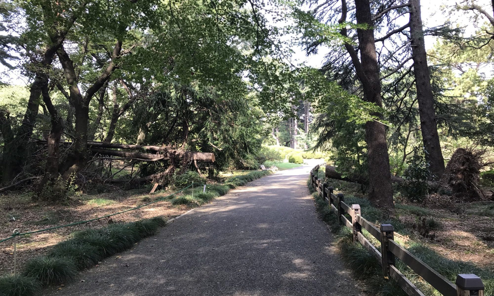 ヒマラヤスギ倒木