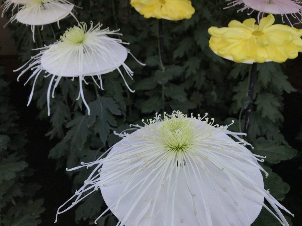 一文字菊管物菊