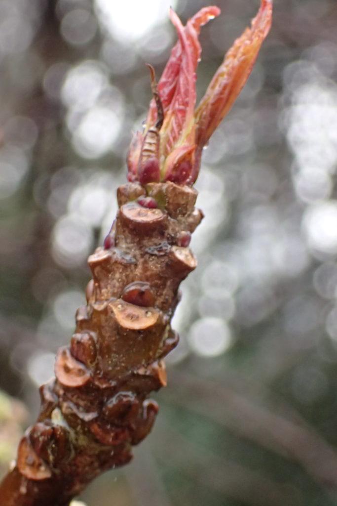 ハチジョウキブシ冬芽