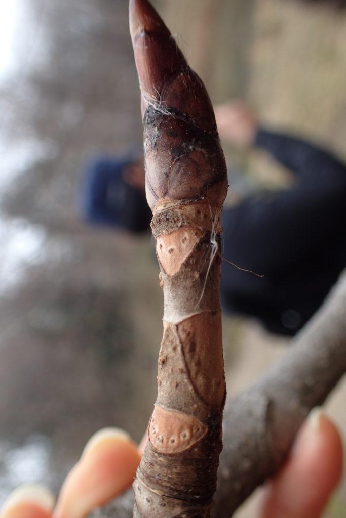 トチノキ冬芽