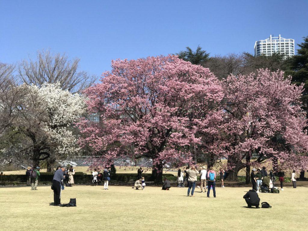 陽光と大島桜