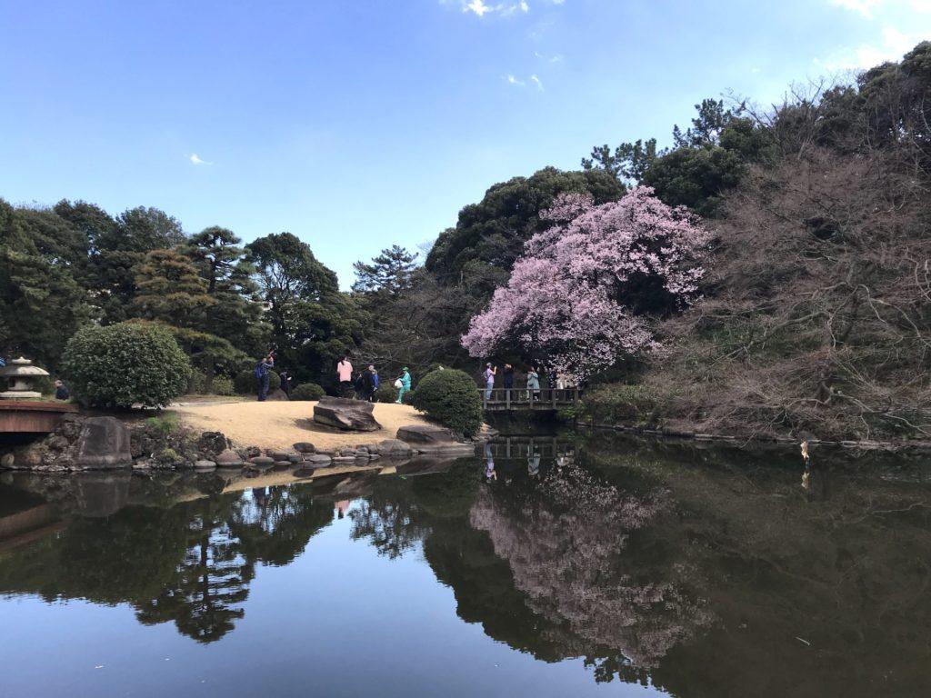 高遠小彼岸桜