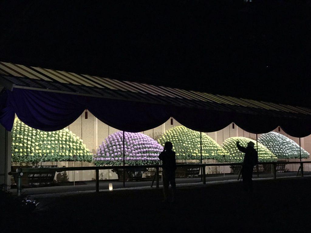 菊花壇展 新宿御苑