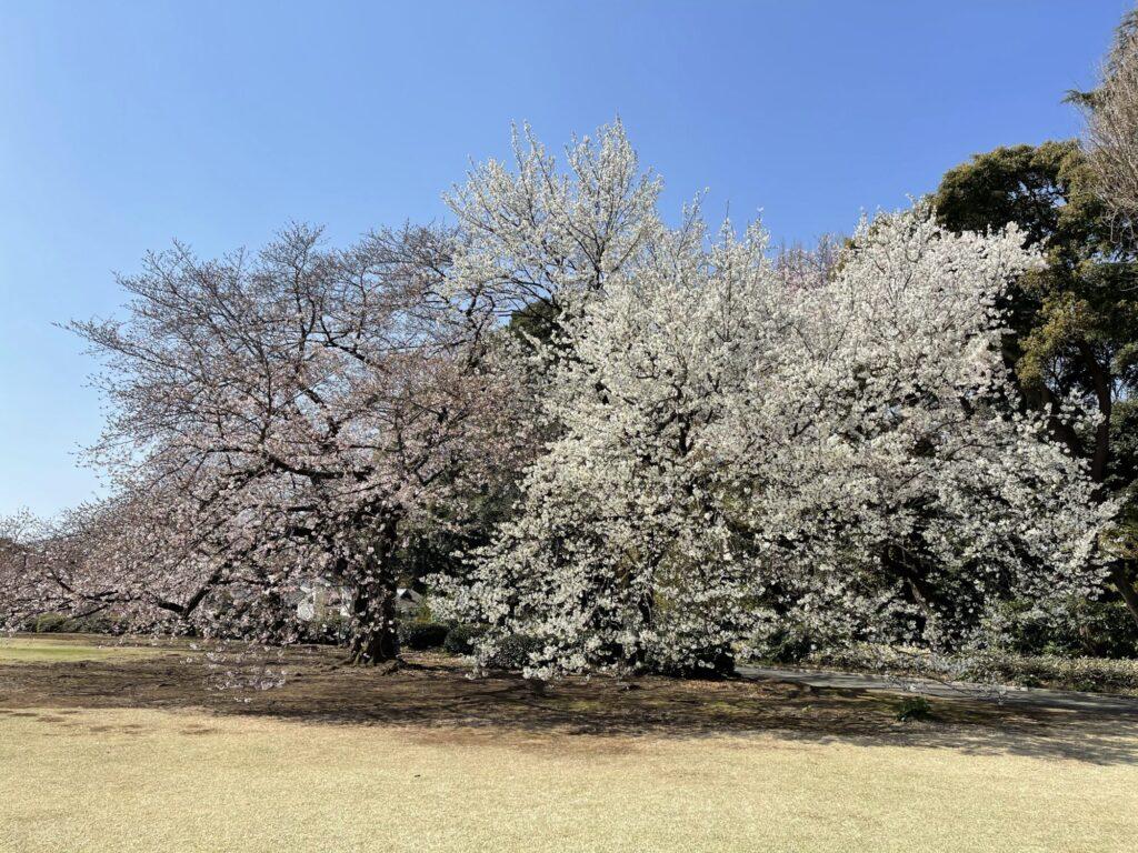 染井吉野と大島桜