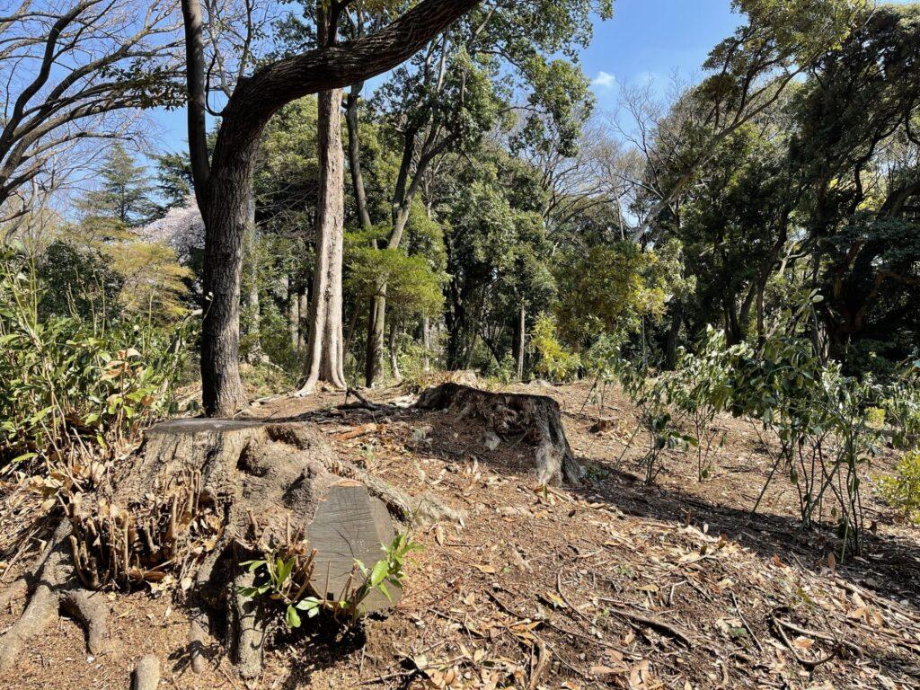 マテバシイ 伐採跡