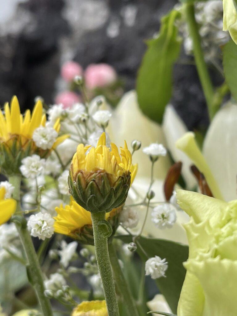菊のつぼみ